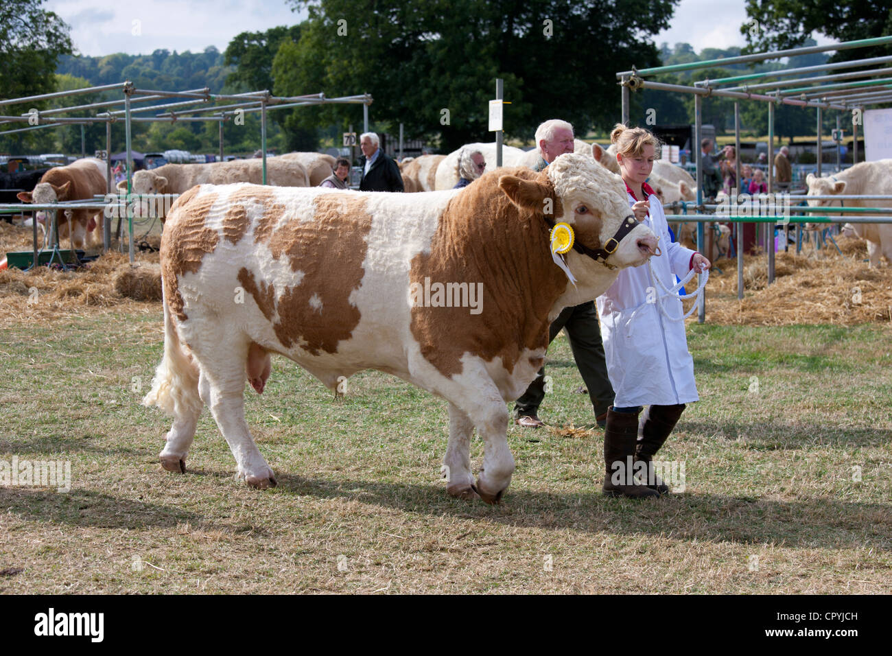 Champion British Simmental Bull with handler at Moreton Show, at Moreton-in-the-Marsh Showground, The Cotswolds, - Stock Image
