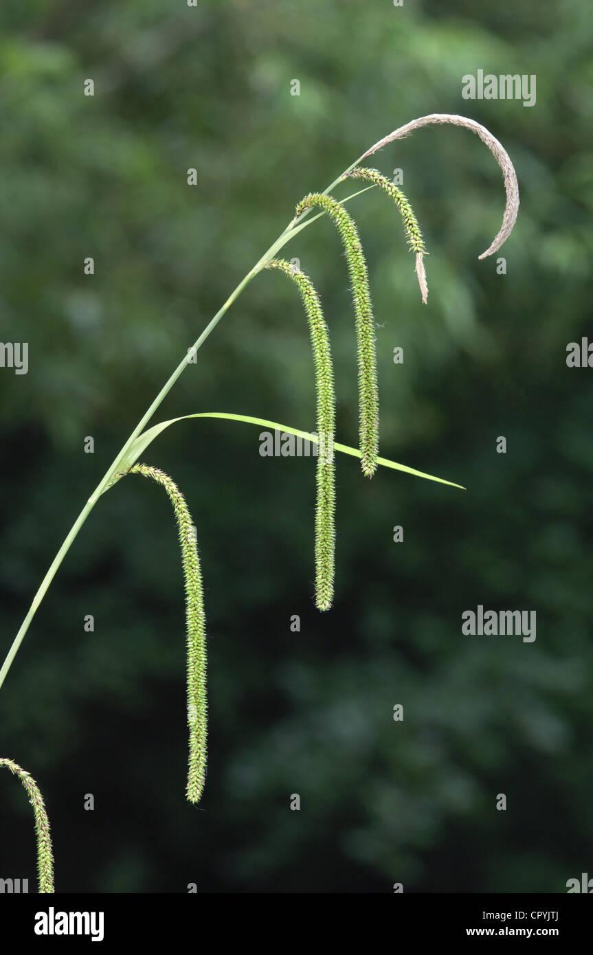 PENDULOUS SEDGE Carex pendula (Cyperaceae) - Stock Image