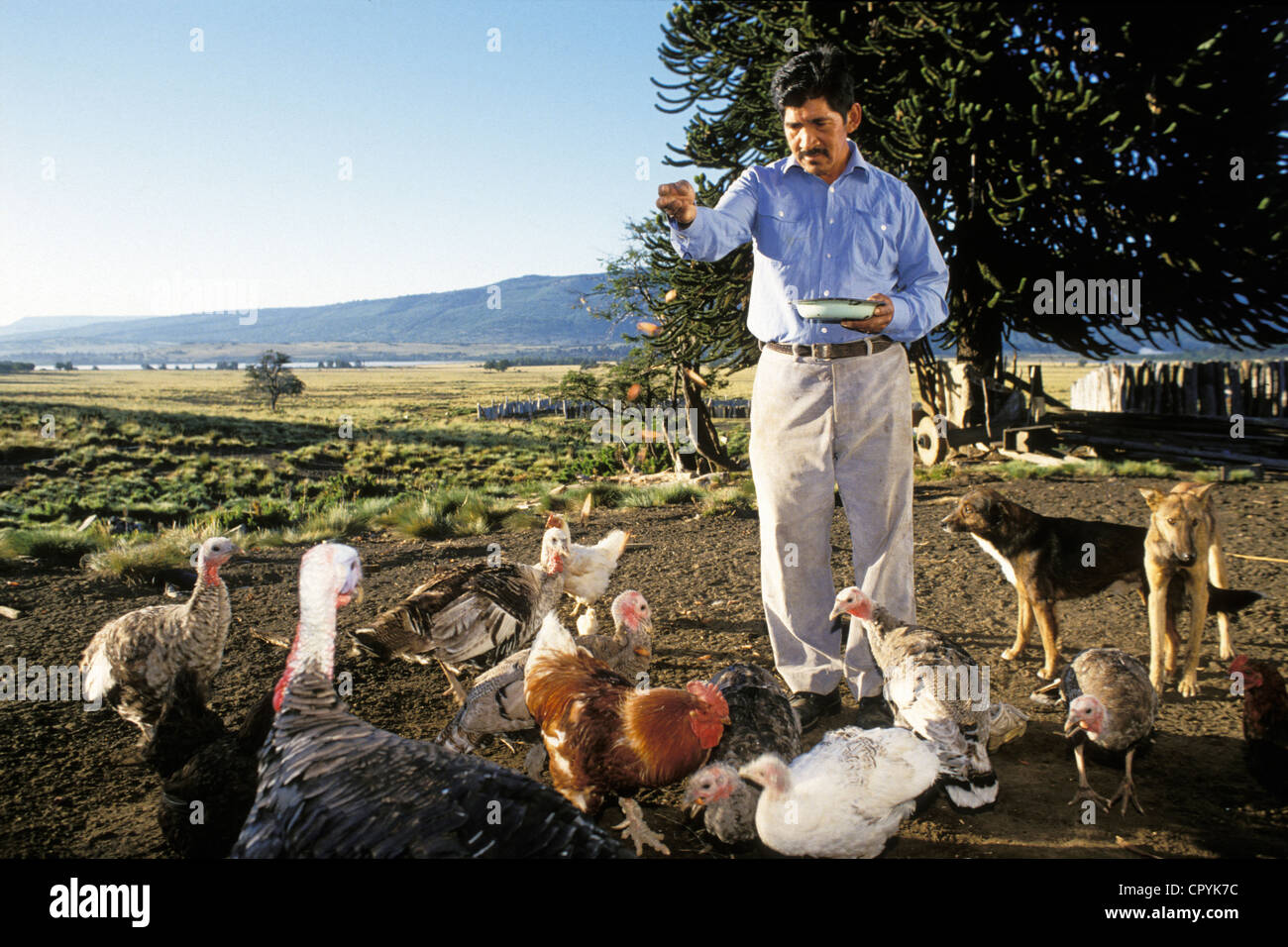 Chile Araucania Region Quinquen valley in the Mapuche indians community the nut is also used to feed the chickens - Stock Image