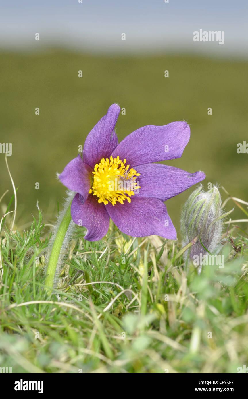 pasqueflower Pulsatilla vulgaris - Stock Image