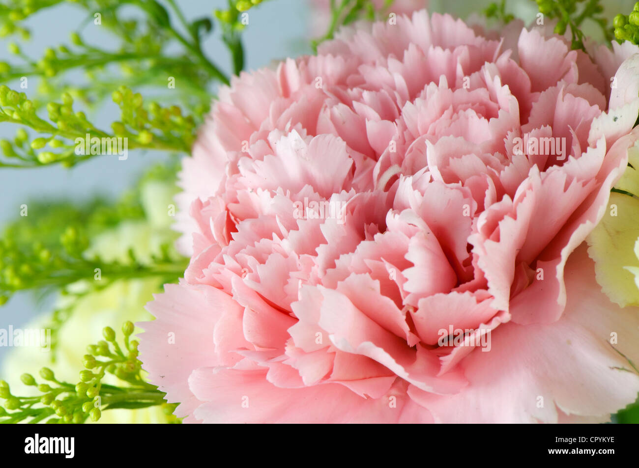 Red Rose And Gypsophila Stock Photos & Red Rose And Gypsophila Stock ...