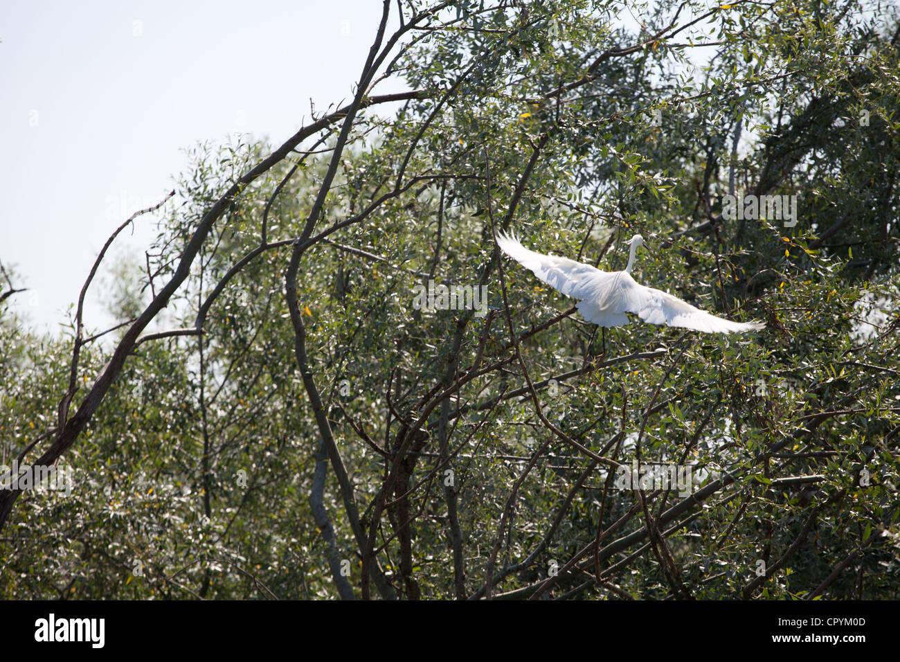 erodios,lake Kerkini,Greece,bird,ecosystem,nest,nature - Stock Image