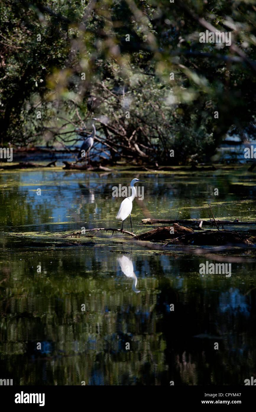 erodios,lake Kerkini,Greece,bird,ecosystem,nature - Stock Image