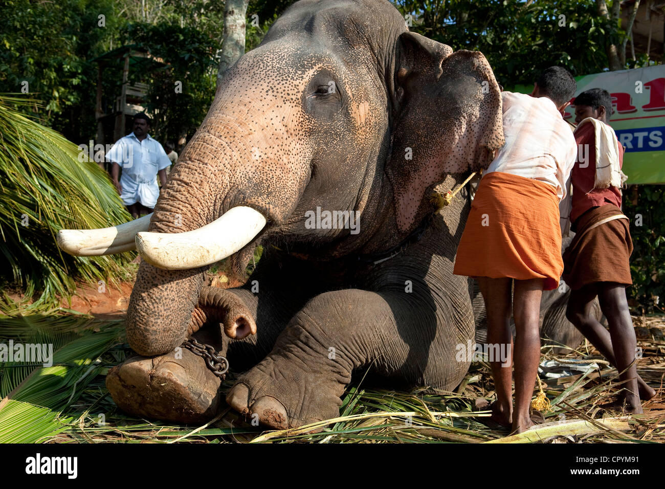 India, Kerala State, Periyar, elephant used for tourist rides - Stock Image