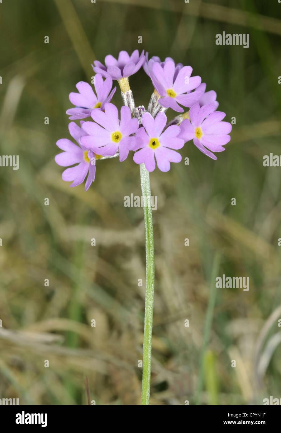 BIRD'S-EYE PRIMROSE Primula farinosa (Primulaceae) Stock Photo