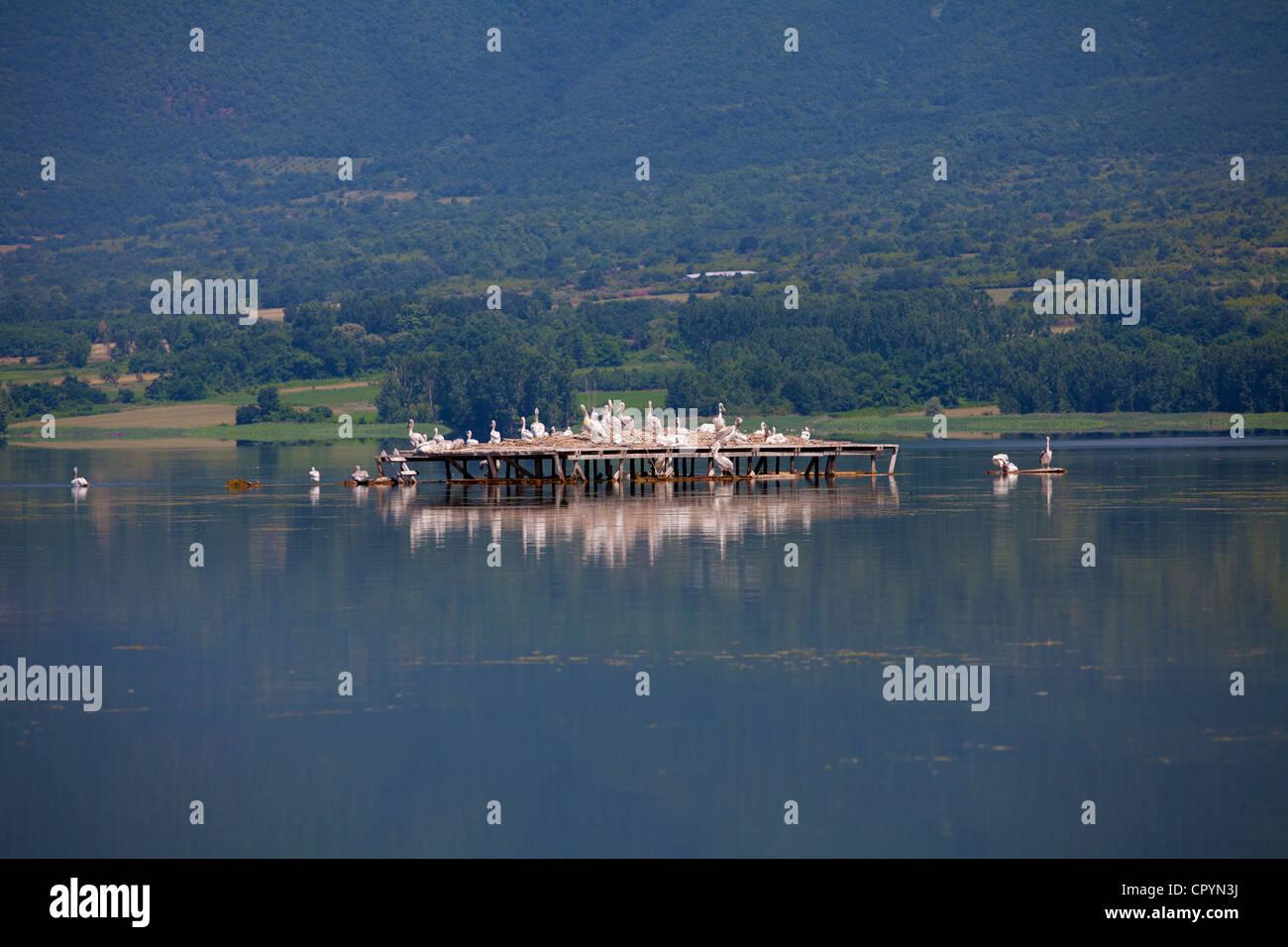 pelecans community,kerkini lake,Greece - Stock Image