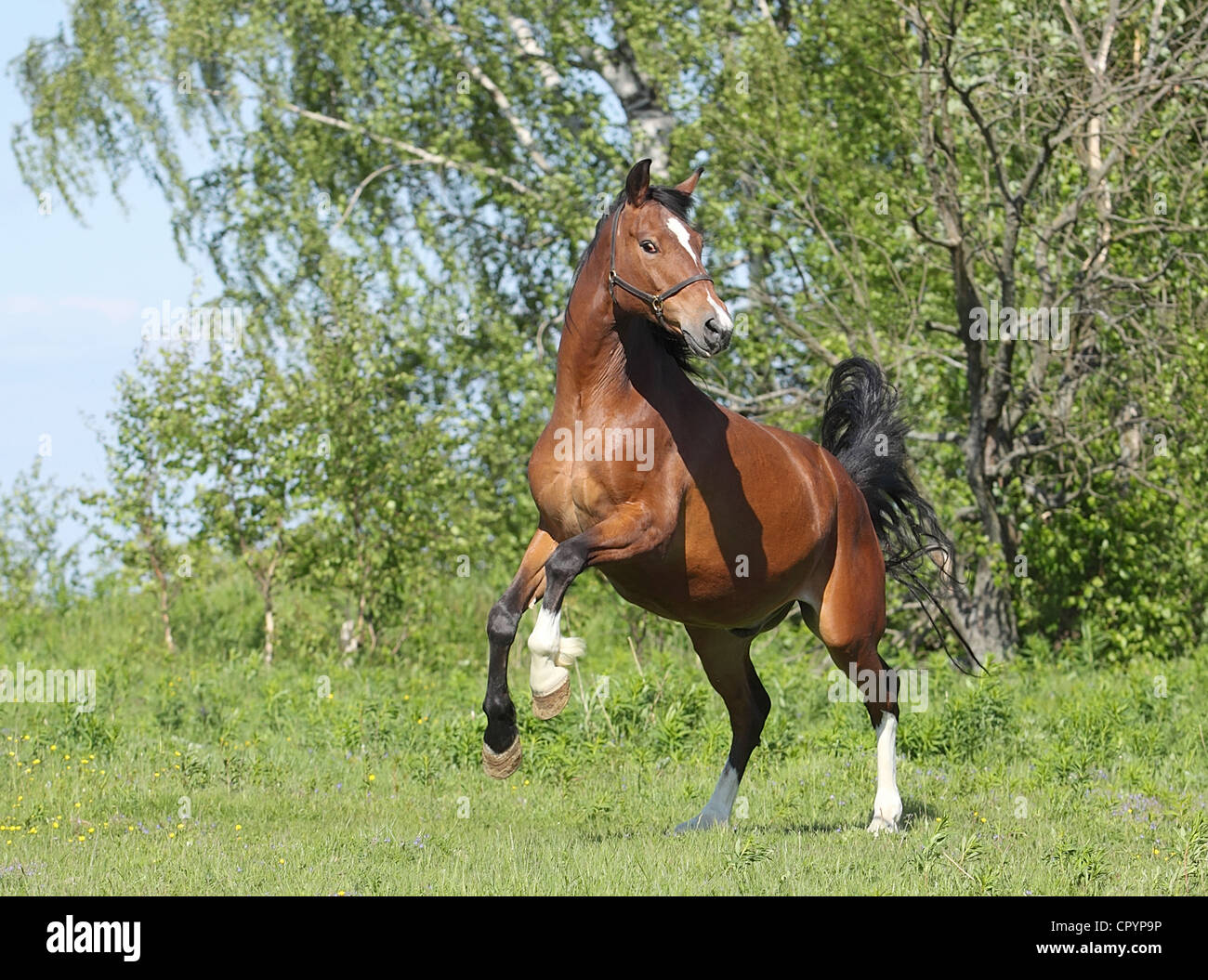 Dark bay horse dance in the meadow Stock Photo