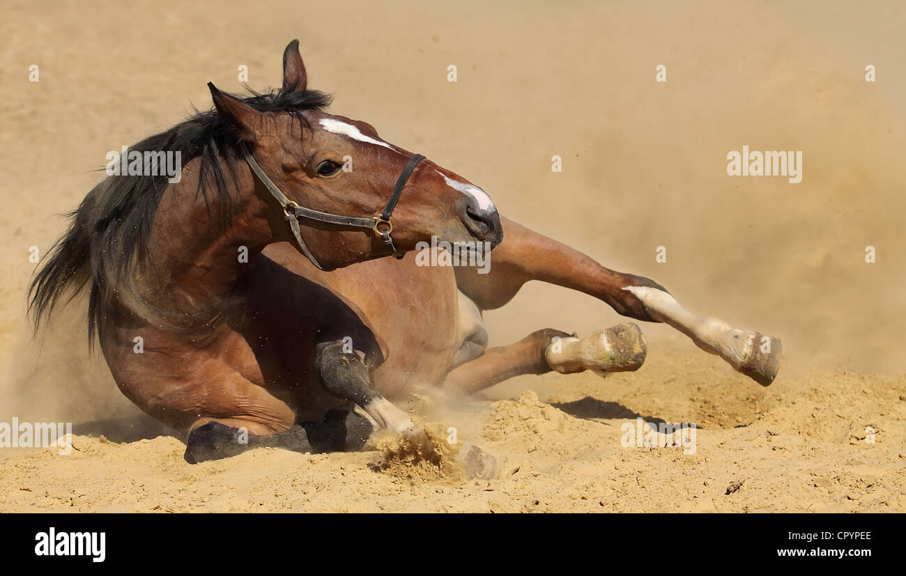 Bay horse lying in the sand and dust - Stock Image
