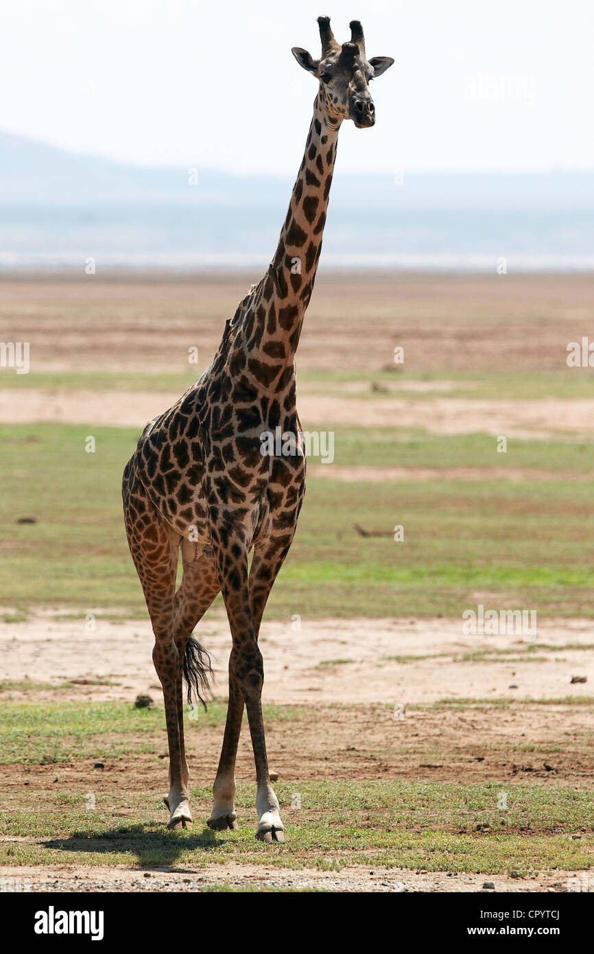 Giraffe (Giraffa camelopardalis), Lake Manyara National Park, Tanzania, Africa - Stock Image