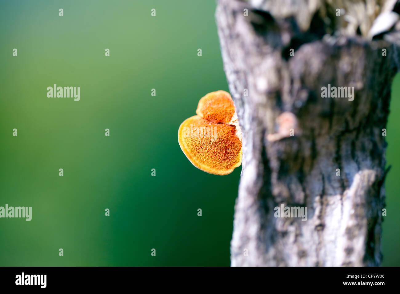 Fungus on tree, Makro, Big Island, Hawaii, USA - Stock Image