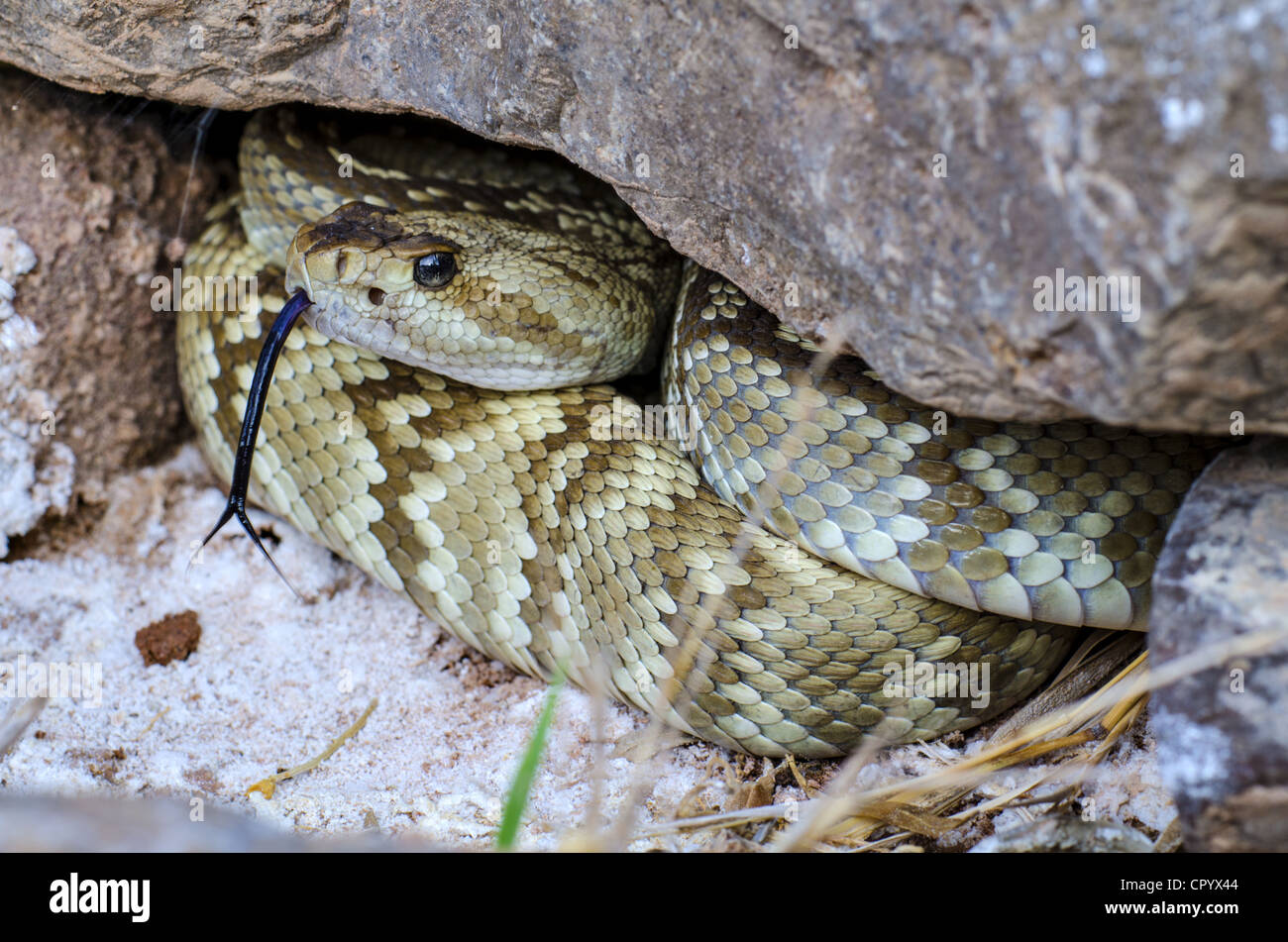 Northern Black-tailed Rattlesnake, (Crotalus molossus molossus), Quebradas Backcountry Byway, Socorro county, New Stock Photo
