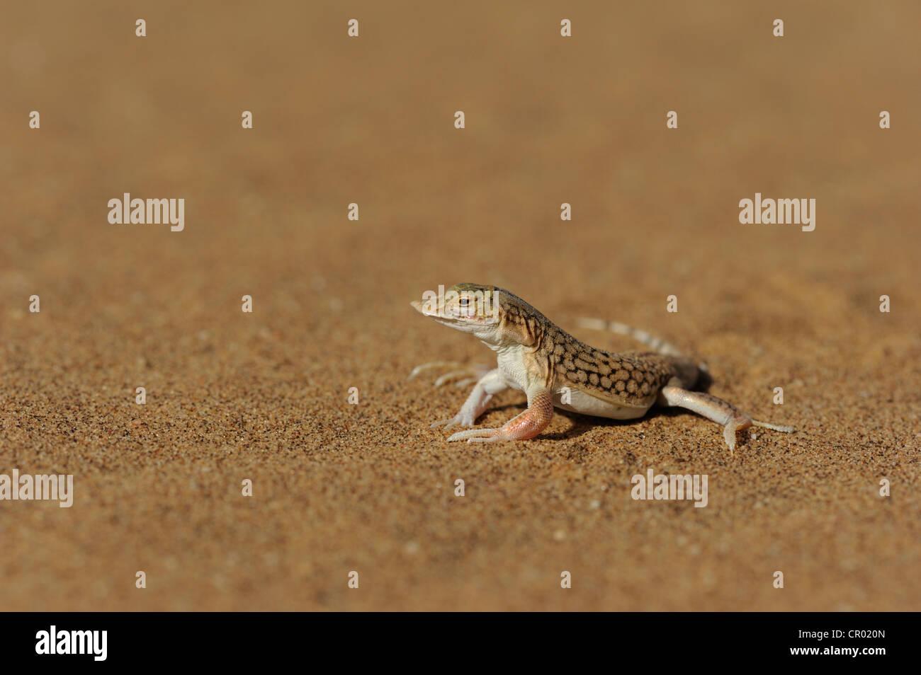 shovel snouted lizard (meroles anchietae), namib-desert, namibia Stock Photo