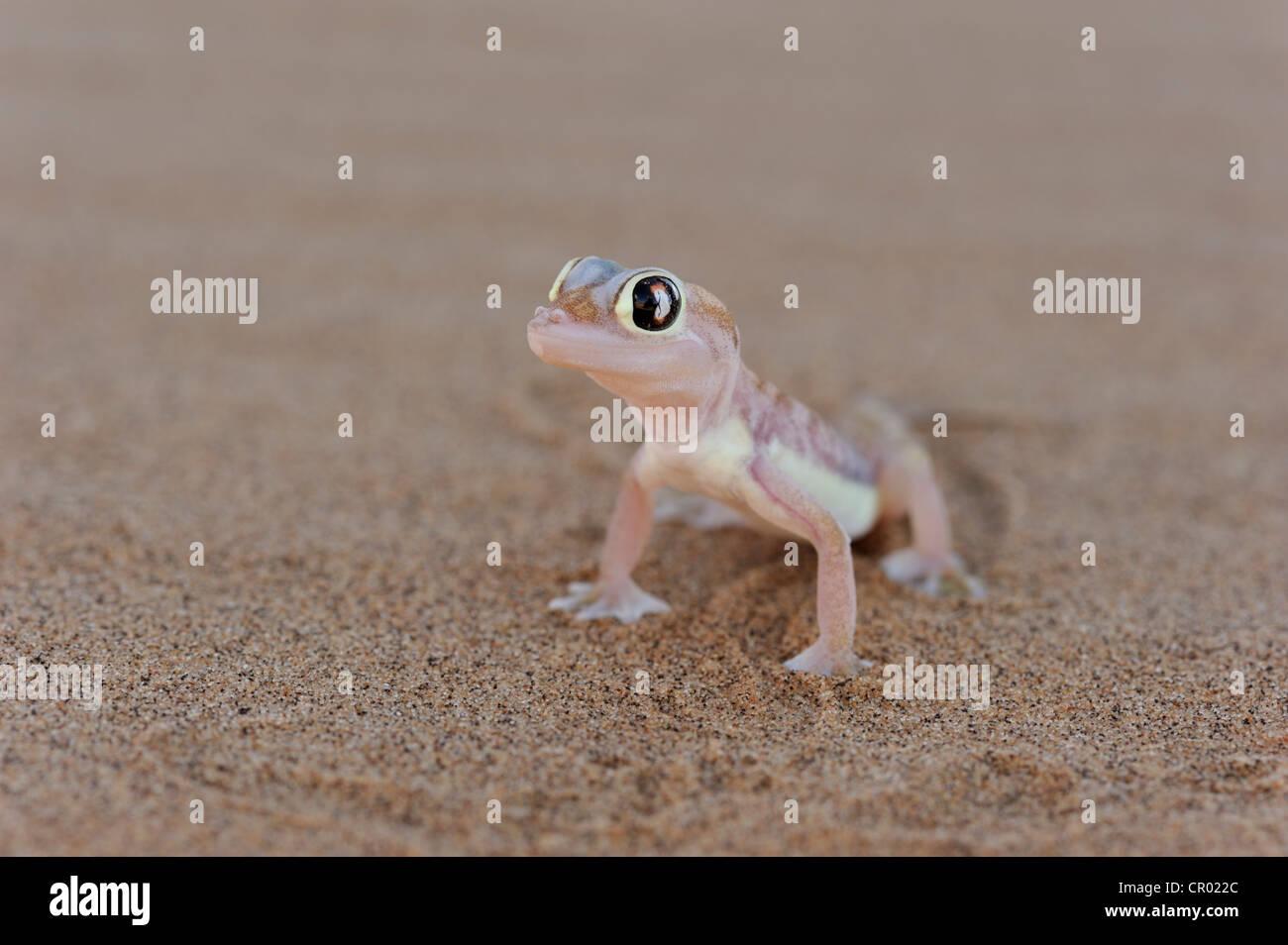 palmatogecko (pachydactylus rangei), namib-desert, namibia Stock Photo