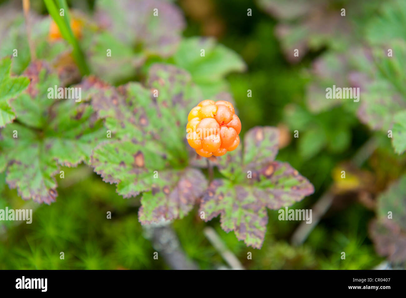 Cloudberry, Knotberry or Knoutberry, Averin or Evron (Rubus chamaemorus), ripe fruit, Fulufjaellets National Park, - Stock Image