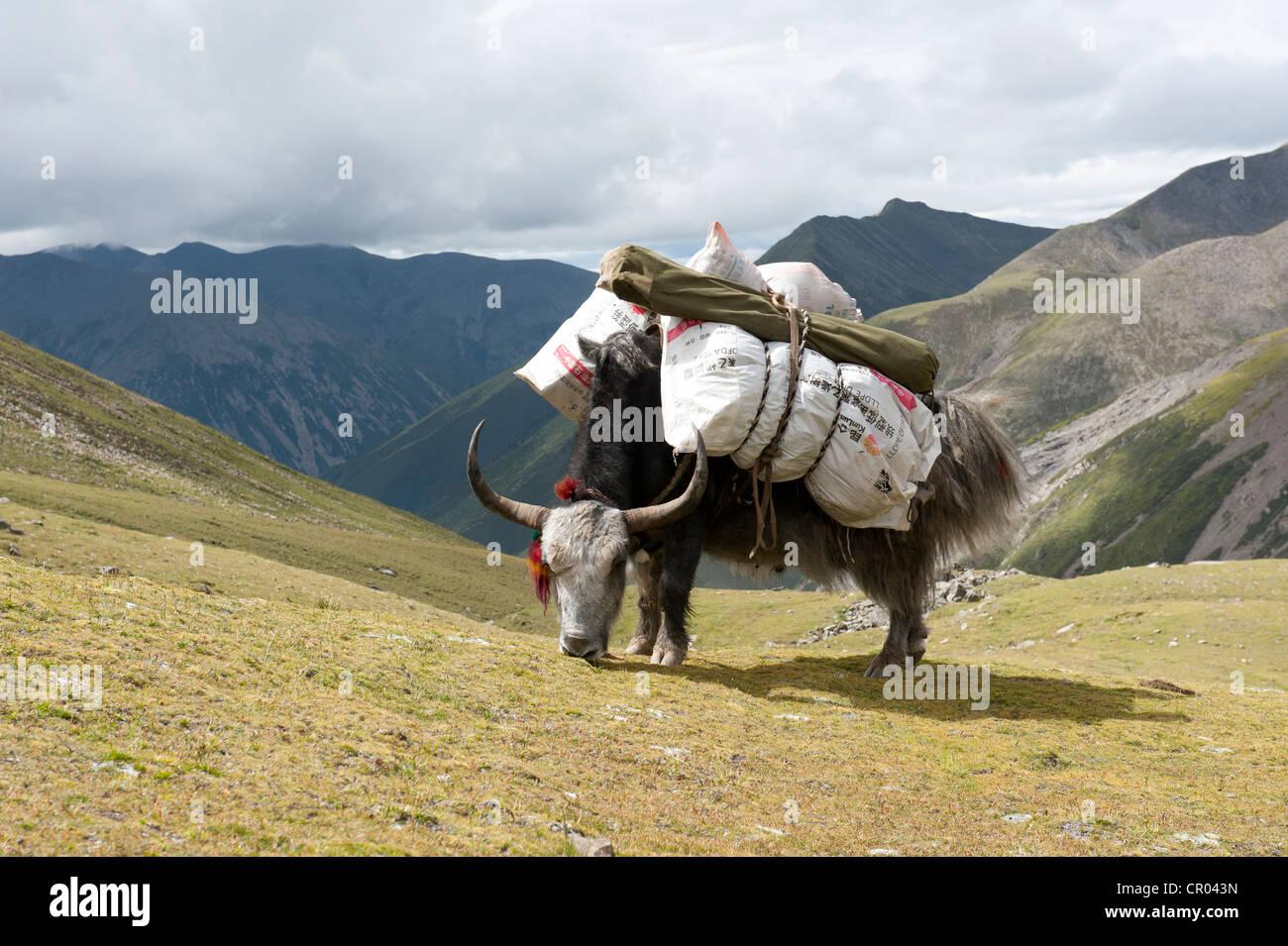 Loaded Yak (Bos mutus) grazing on the grassland in front of high mountains, near the Chitu-La Pass, Himalaya Range - Stock Image