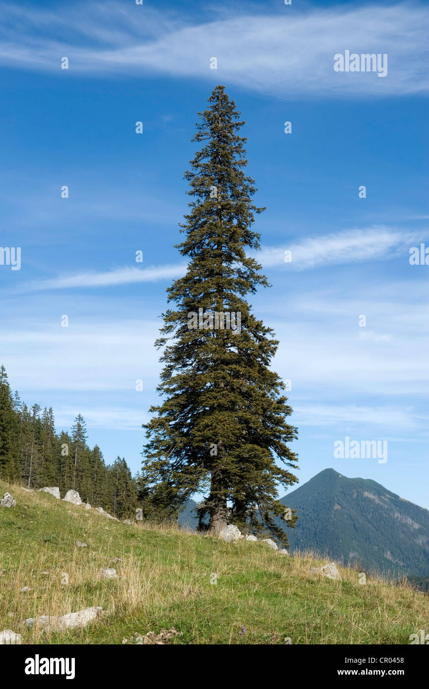Norway spruce (Picea abies), solitary free-standing old, big and tall tree, Soin-Alm alpine pasture and Mt. Grosser - Stock Image