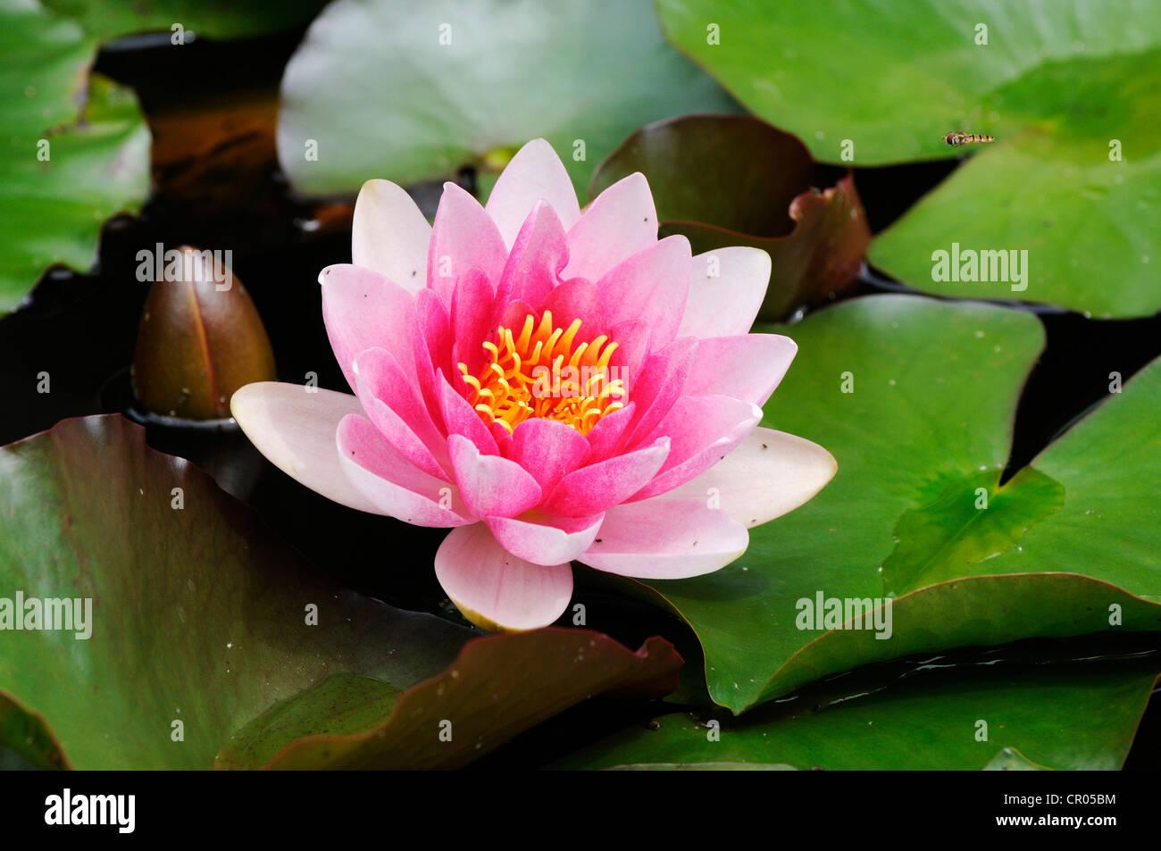 Water Lily (Nymphaea), Seleger Moor, Rifferswil, Zurich, Switzerland, Europe - Stock Image