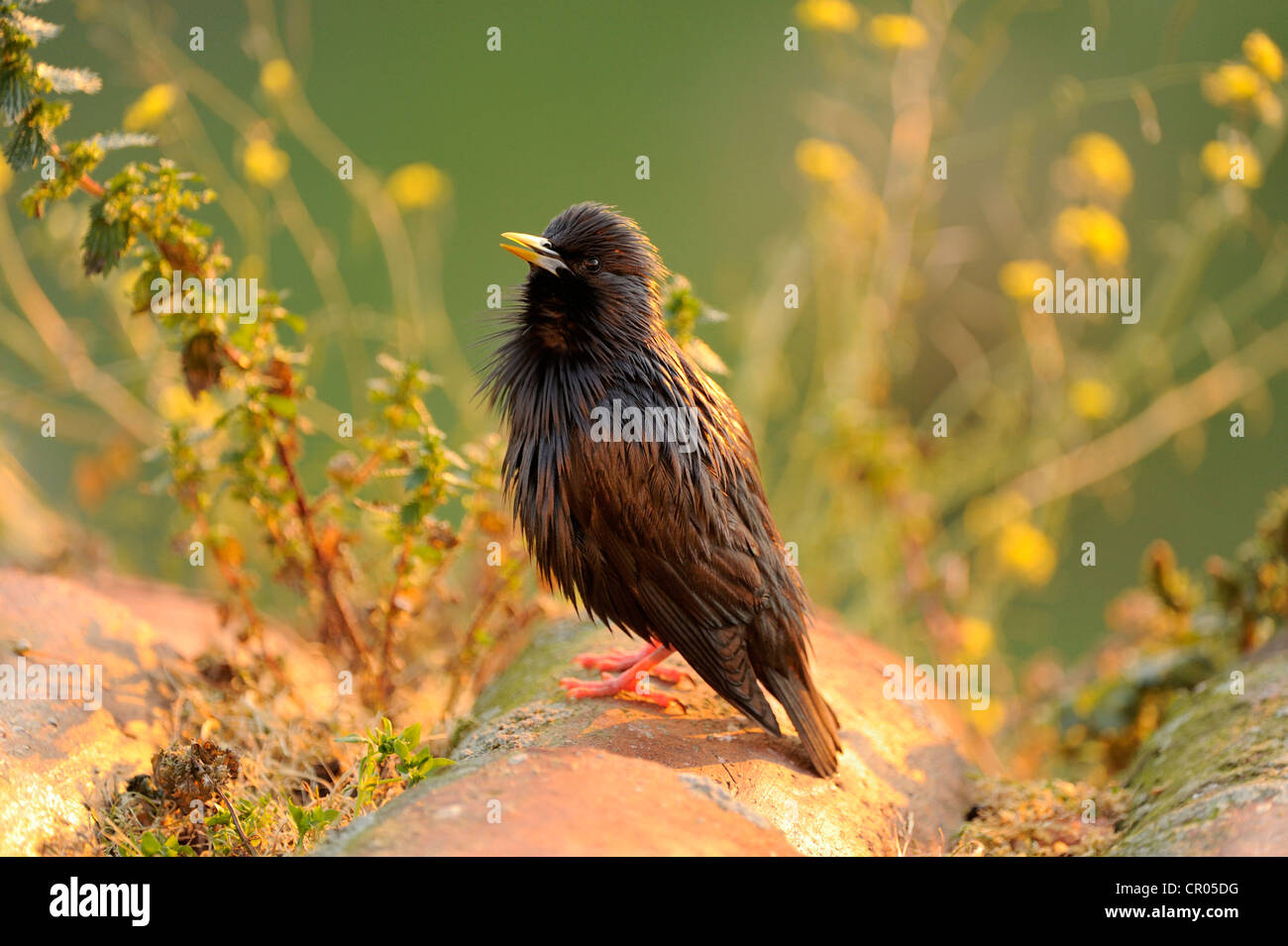 Spotless Starling (Sturnus unicolor), perched on roof tile Stock Photo