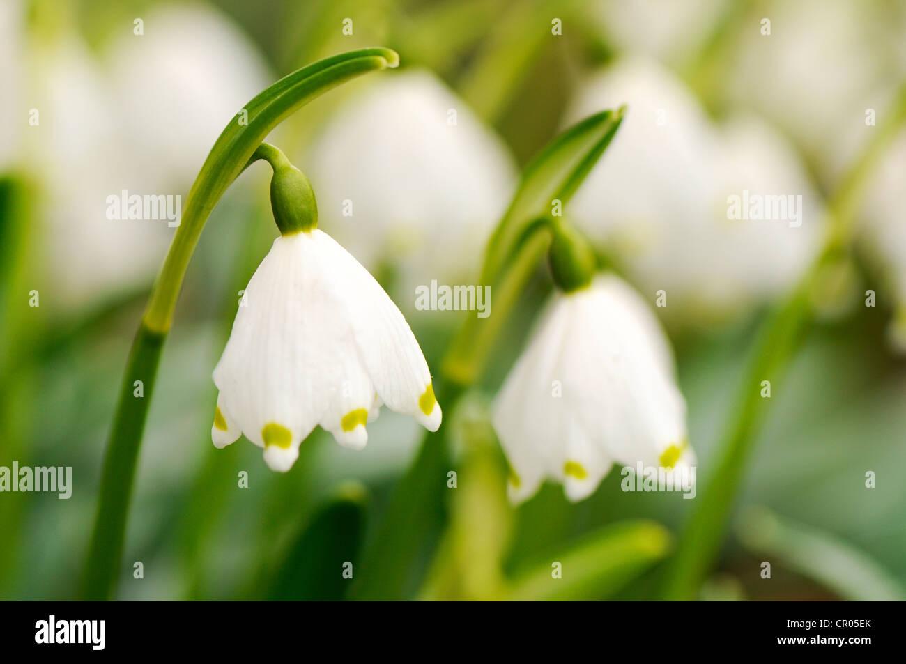 Snowdrop (Galanthus nivalis) - Stock Image