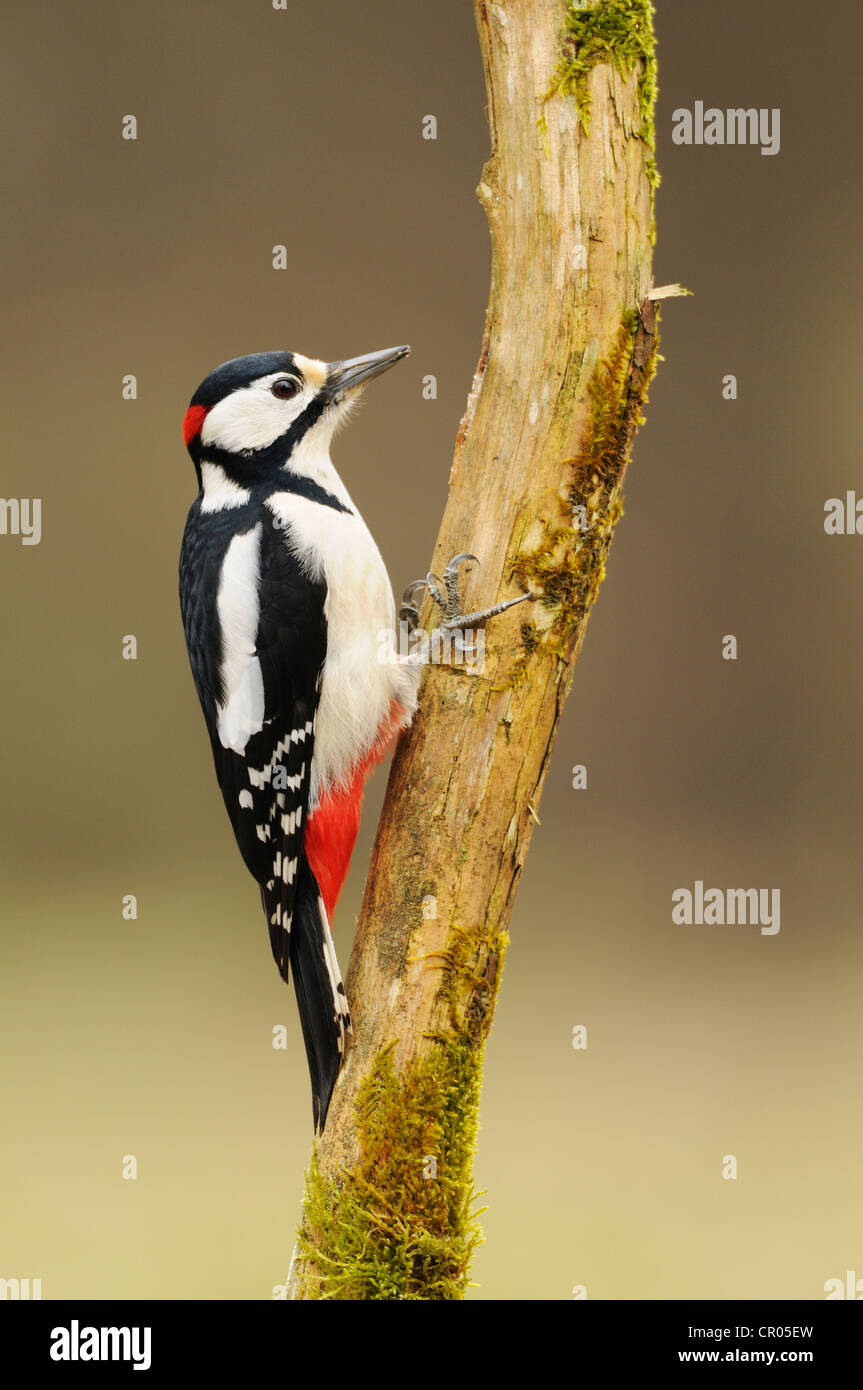 Great Spotted Woodpecker (Dendrocopos major), foraging on tree - Stock Image