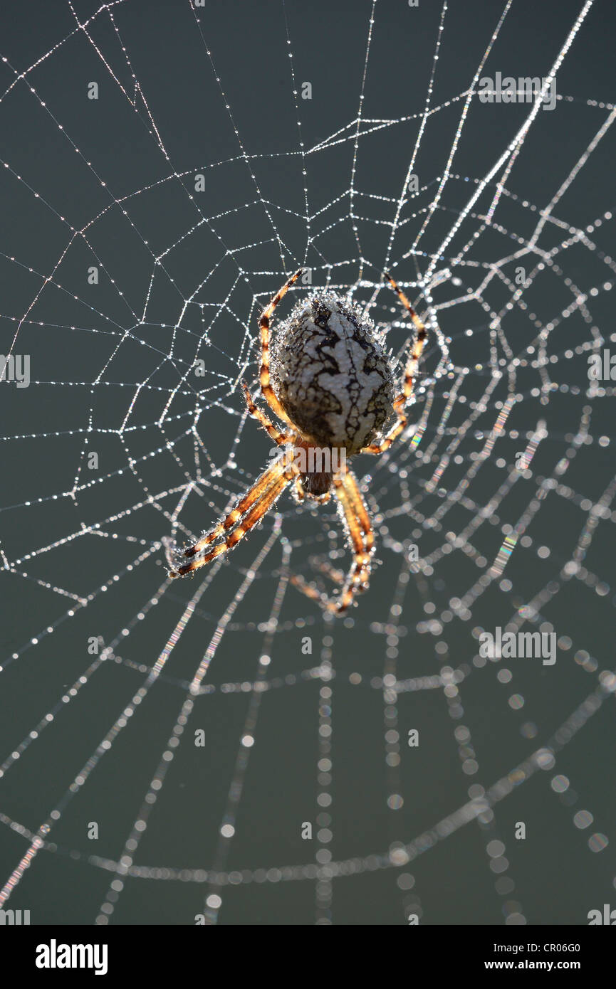 Oak Spider (Aculepeira Ceropegia syn. Araneus Ceropegia) in its spiderweb with morning dew, mountain road near Kosanica - Stock Image