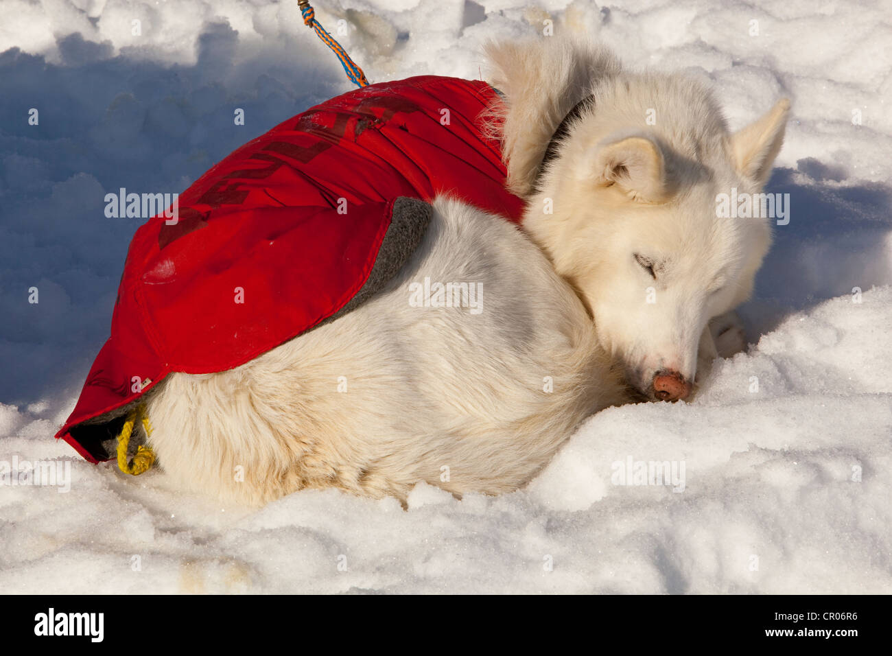 White sled dog with dog coat resting, sleeping in snow and sun, curled up, stake out cable, Alaskan Husky, Yukon - Stock Image