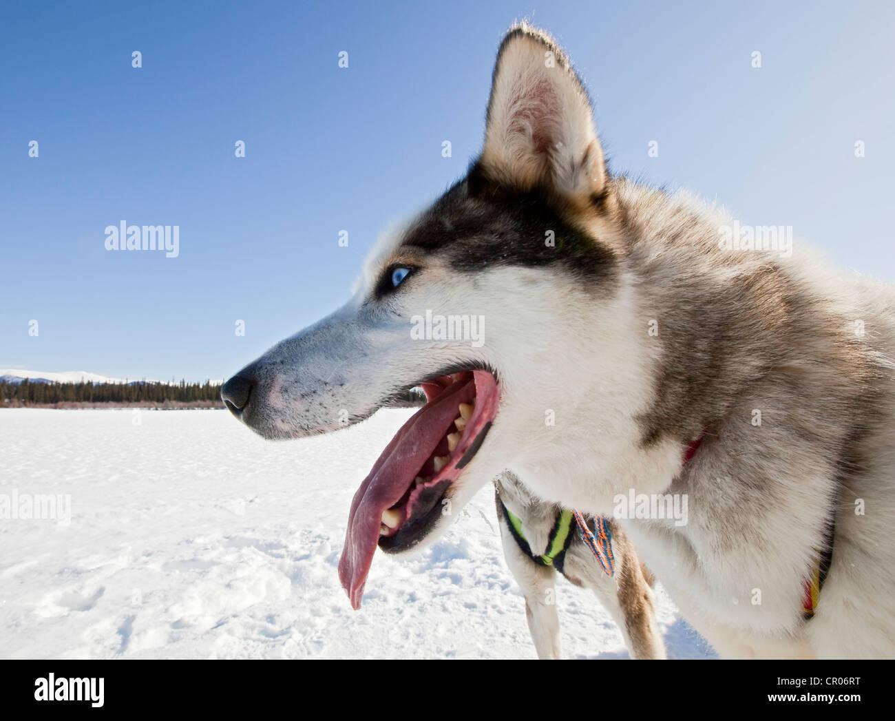 Portrait of panting sled dog, lead dog, Alaskan Husky, frozen Yukon River, Yukon Territory, Canada - Stock Image