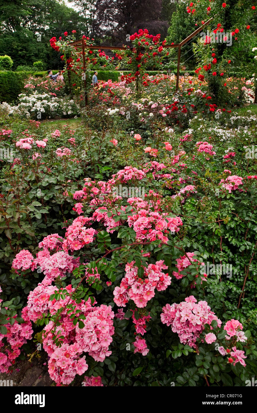 Colourful roses in the rose garden of Park Coloma at Sint-Pieters-Leeuw, Belgium - Stock Image