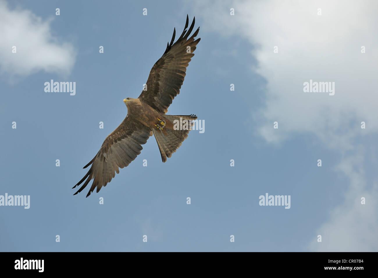 Black kite (Milvus migrans), Landskron Castle, an ornithological station for raptorial birds, Carinthia, Austria, - Stock Image