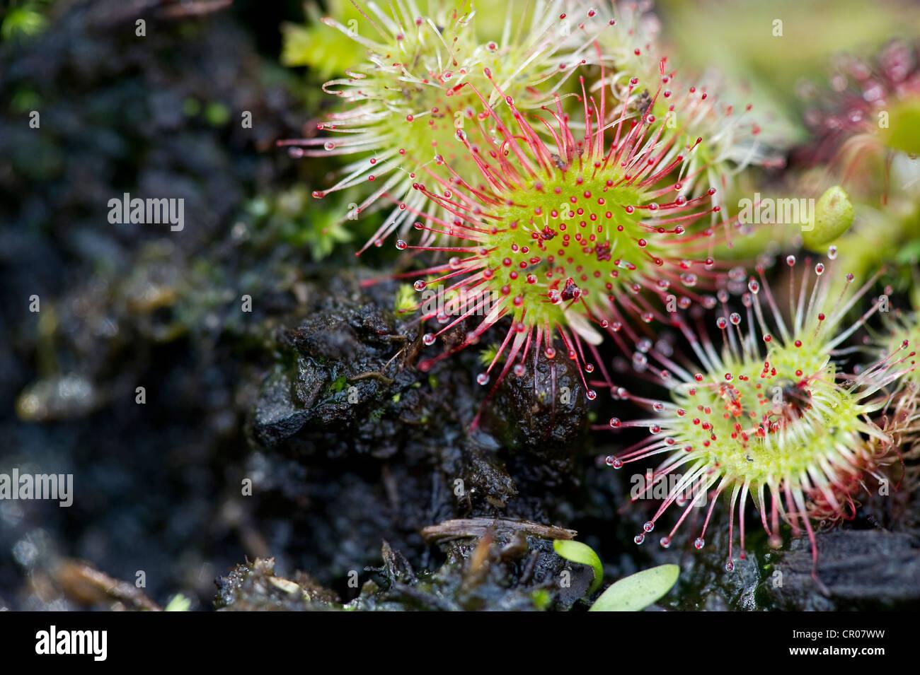 Sundews, carnivorous plants, southern Black Forest, Baden-Wuerttemberg, Germany, Europe - Stock Image