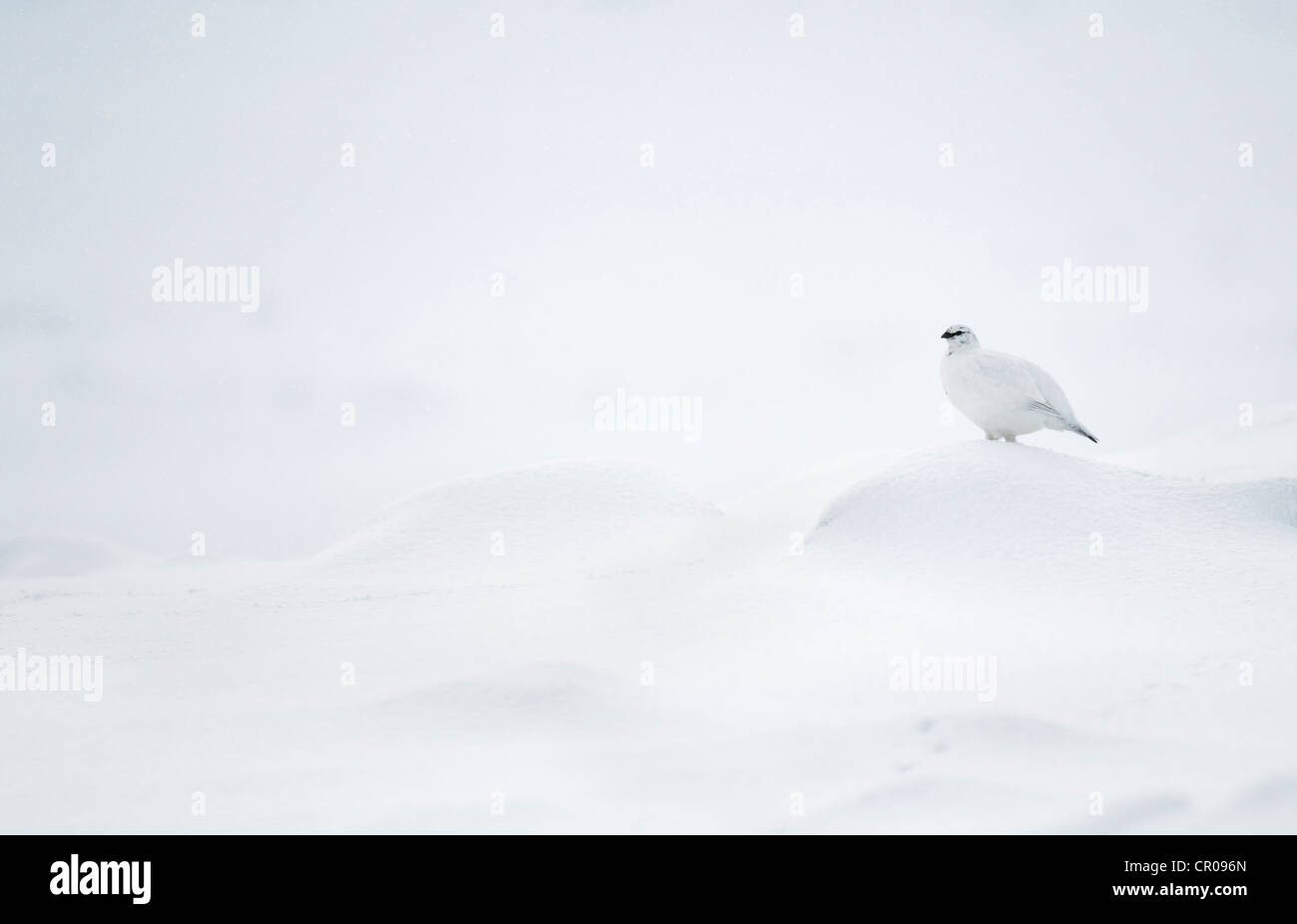 Rock ptarmigan (Lagopus mutus) adult female in winter plumage, in snowy mountain landscape. Cairngorms National - Stock Image