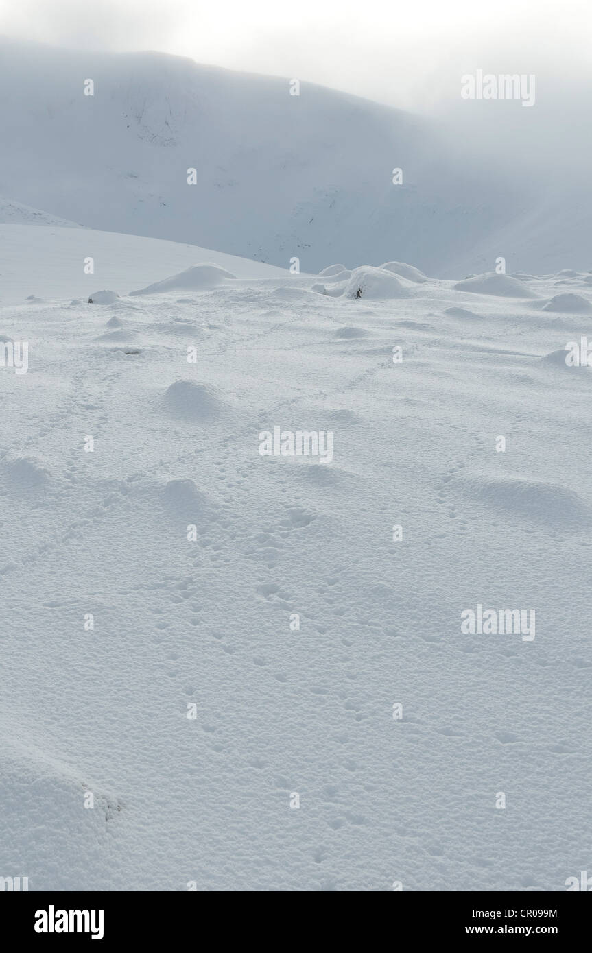 Tracks of rock ptarmigan (Lagopus mutus) in snowy mountain landscape. Cairngorms National Park, Scotland. February. - Stock Image
