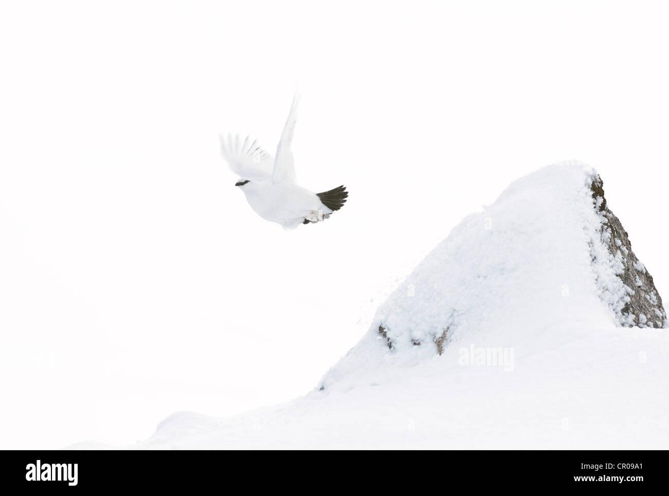 Rock ptarmigan (Lagopus mutus) adult female in flight, in snowy mountain landscape. Cairngorms National Park, Scotland. - Stock Image