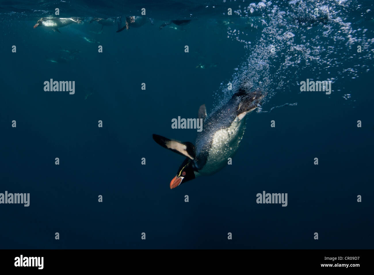 Crested penguin swimming underwater - Stock Image