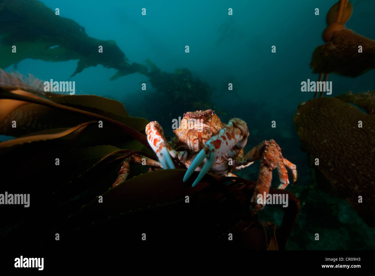 Close up of giant spider crab underwater - Stock Image