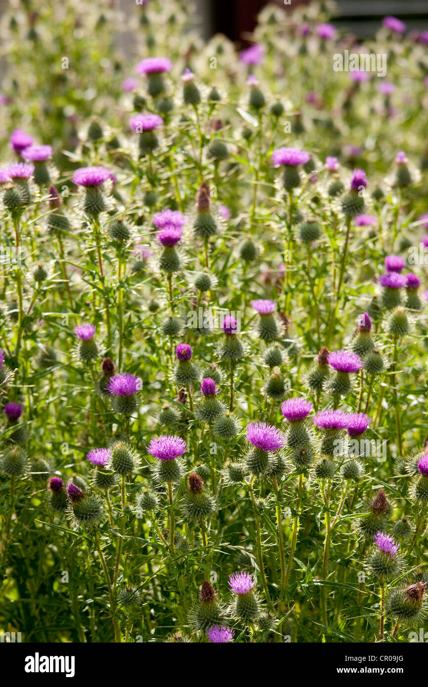 Scottish Thistle, Onopordum Acanthium, wildflower in the Lake District National Park, Cumbria, UK - Stock Image