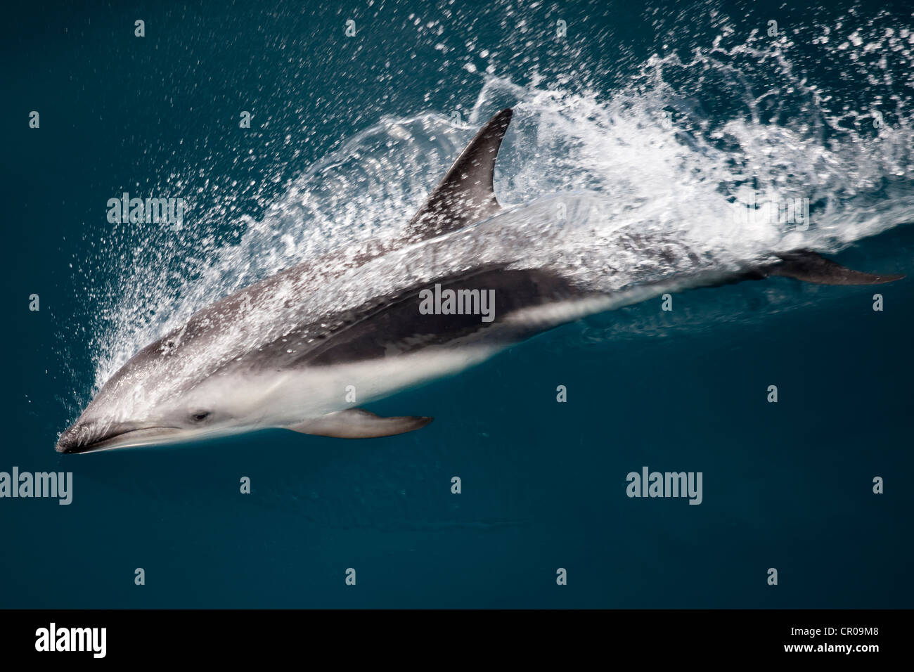 Dusky dolphin swimming at water surface - Stock Image