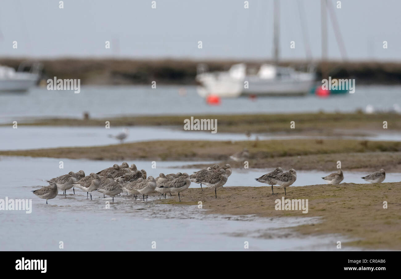 Flock of bar-tailed godwits (Limosa lapponica) roosting on a sand bar at high water in a tidal creek in north Norfolk. Stock Photo