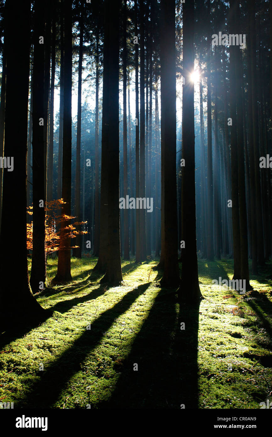 Spruce forest, Norway spruce (Picea abies), Allgaeu, Bavaria, Germany, Europe - Stock Image