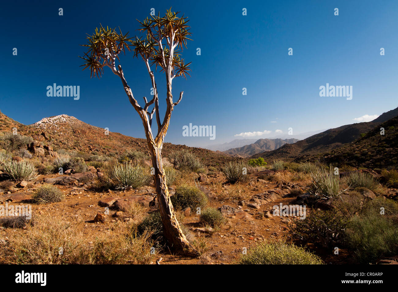 Quiver Tree or Kokerboom (Aloe dichotoma), Richtersveld National Park, Northern Cape, South Africa, Africa - Stock Image