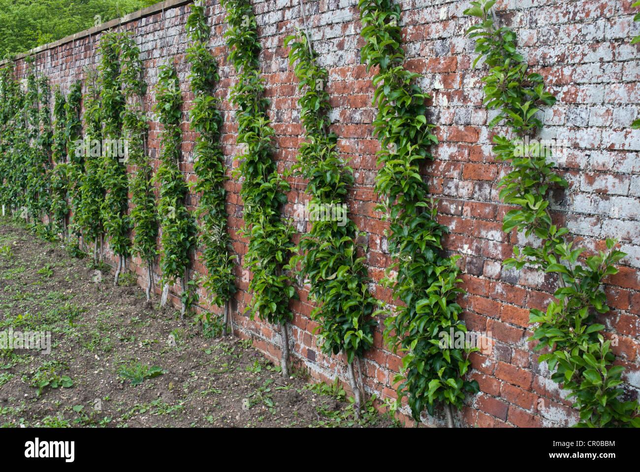 Cordon Apple Trees Stock Photos Cordon Apple Trees Stock Images