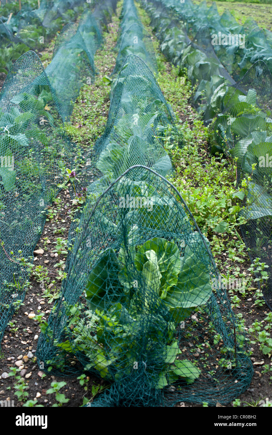 Wire hoops and netting being used as crop protection Stock Photo