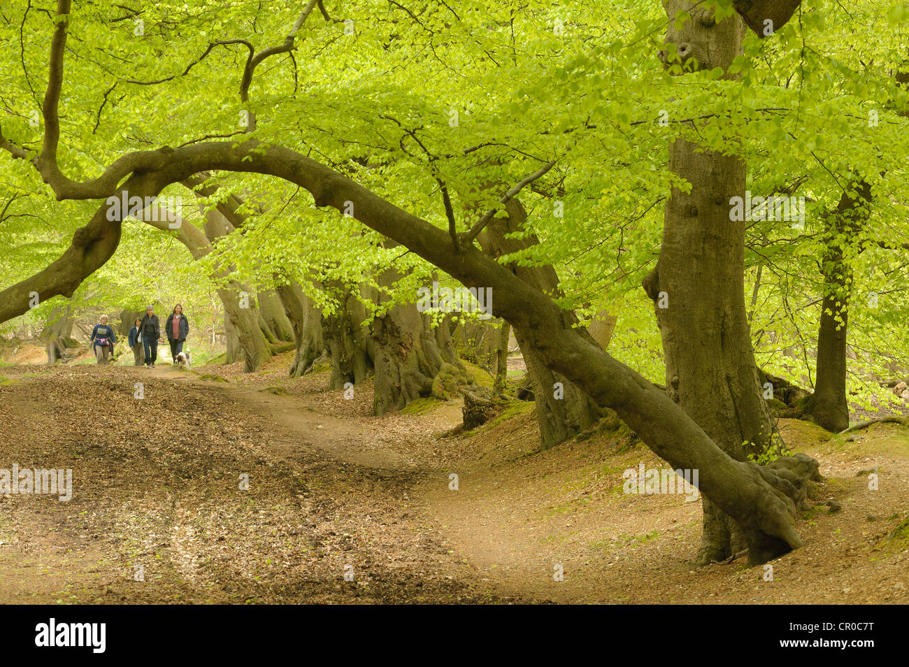 People walking in beech woodland in spring. Ashridge Forest, Hertfordshire, England. May. Stock Photo
