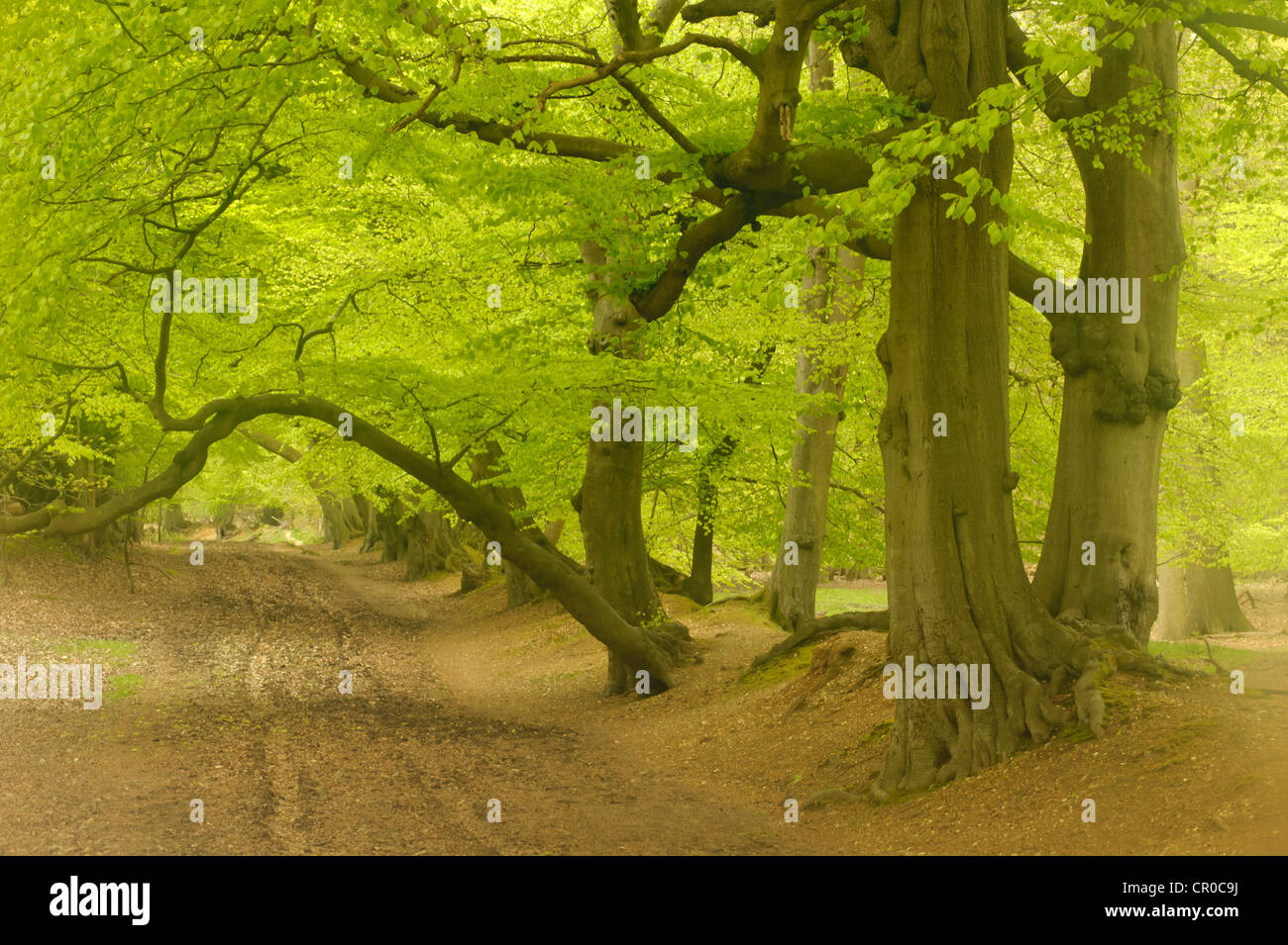 Soft focus view of beech woodland in spring. Ashridge Forest, Hertfordshire, England. May. Stock Photo