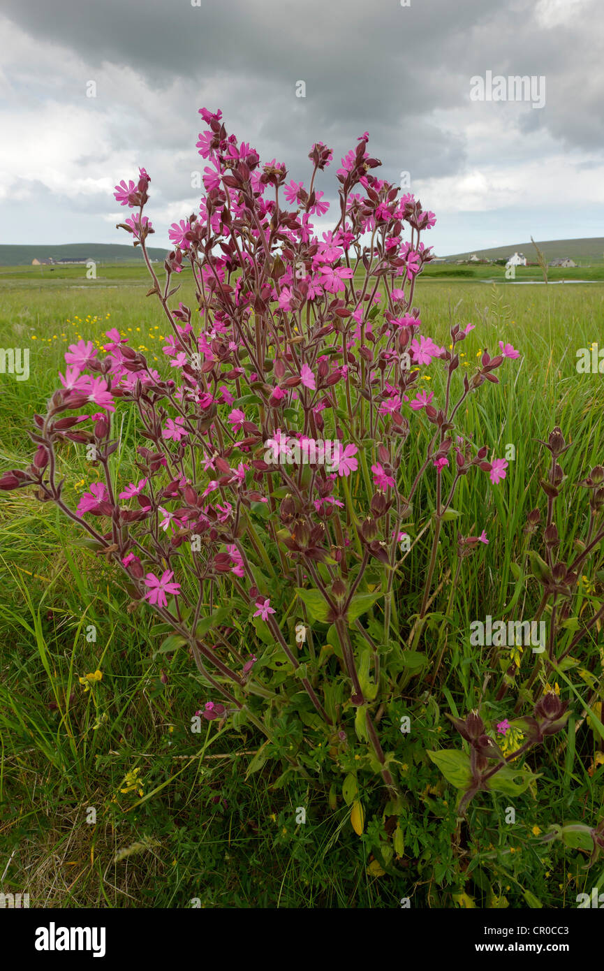 Shetland red campion (Silene dioica) in flower near Haroldswick on the island of Unst in the Shetland Isles. June - Stock Image