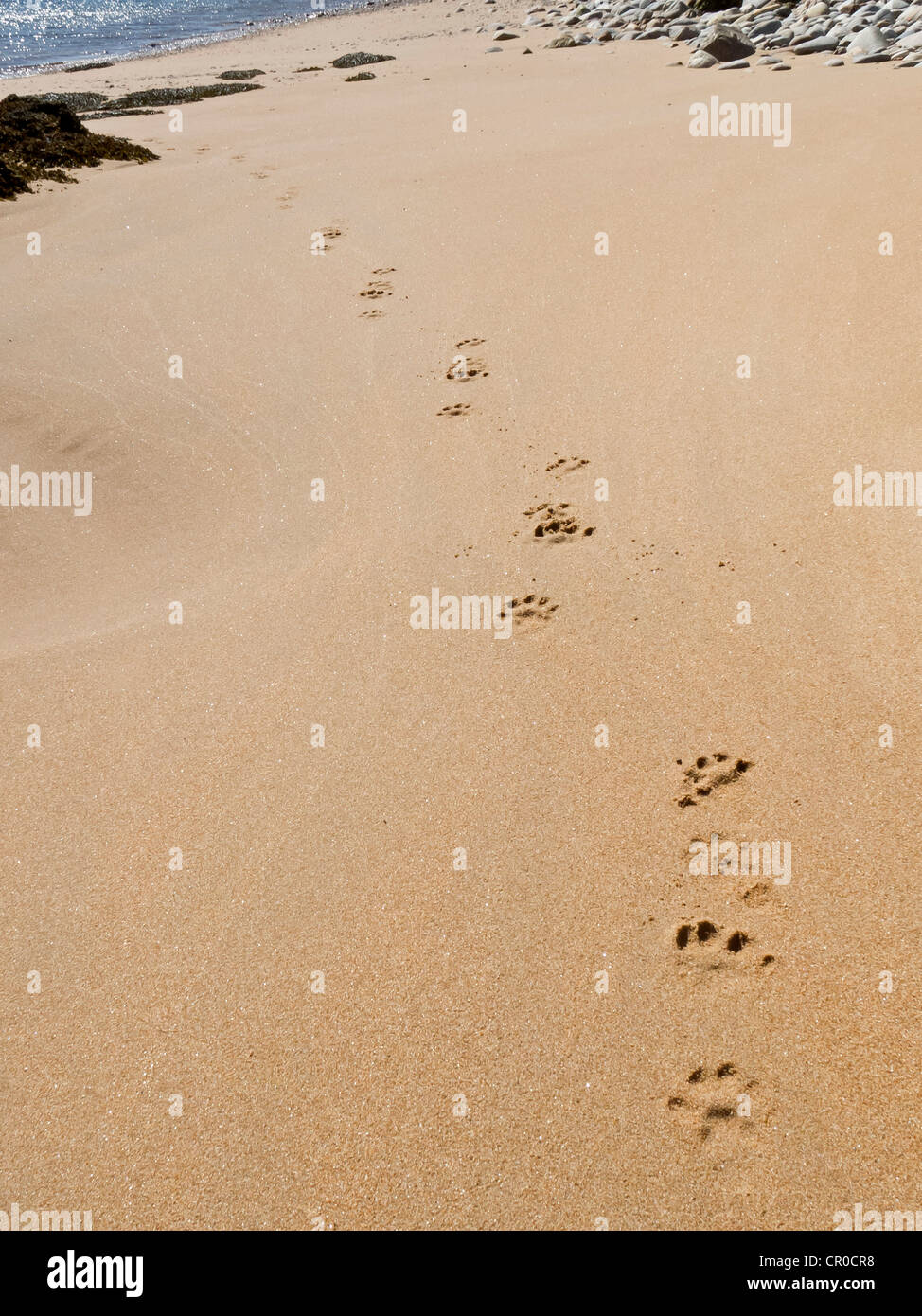 Tracks of Eurasian otter (Lutra lutra) on a beach in the Shetland Islands. June 2010. - Stock Image