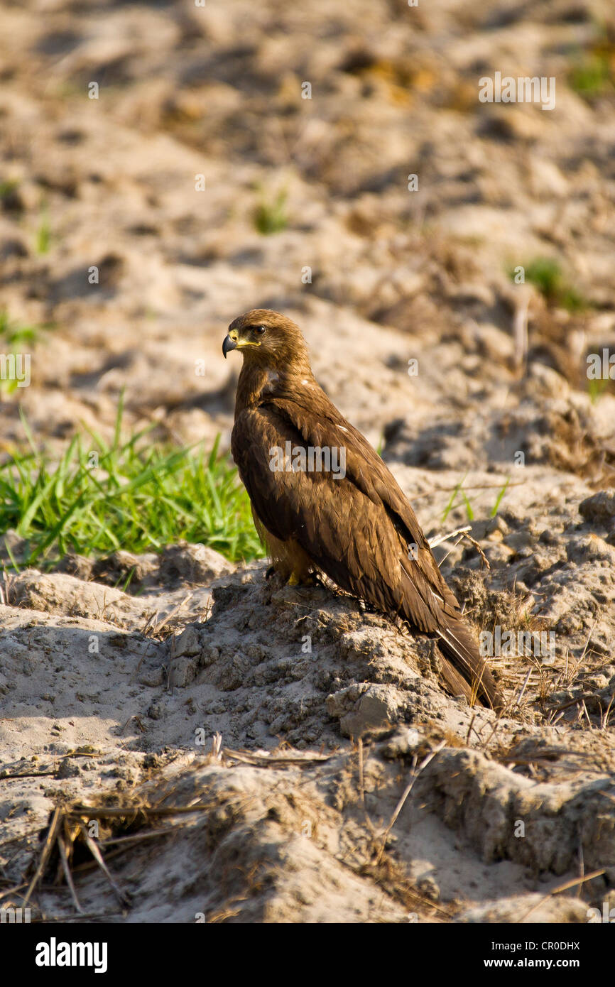 The Black Kite (Milvus migrans) is a medium-sized bird of prey in the family Accipitridae - Stock Image
