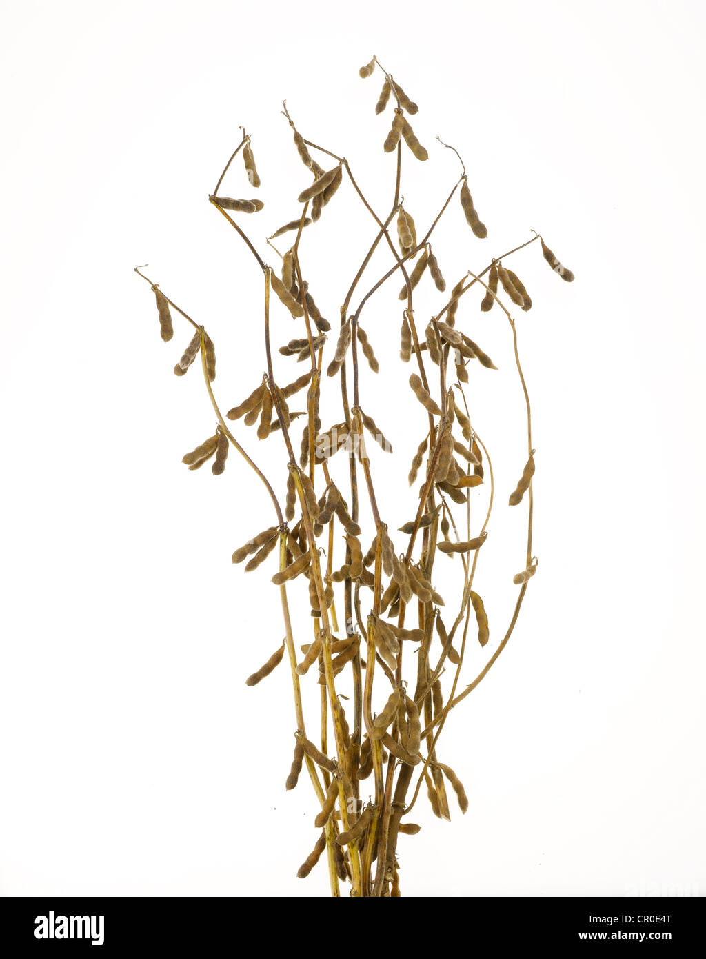 dried yellow soy bean plant with pods - Stock Image