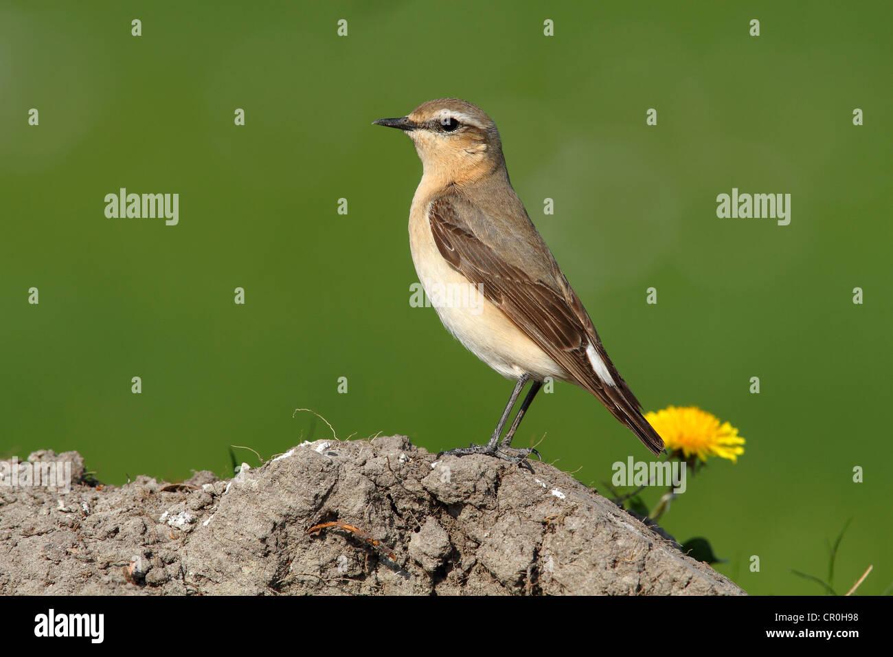 Wheatear (Oenanthe oenanthe) - Stock Image