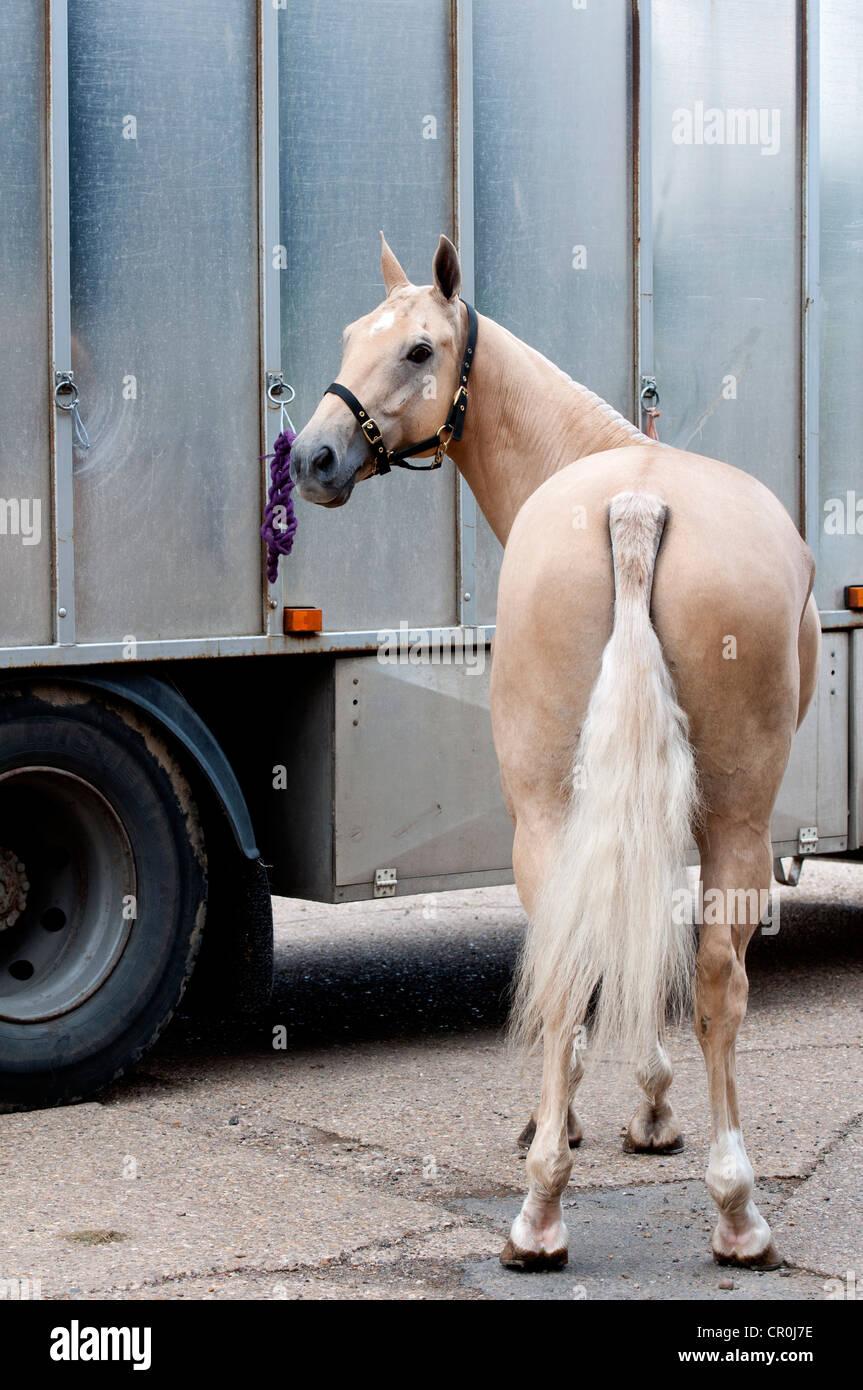 Polo pony tied to a horse box - Stock Image